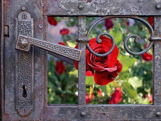 Rose Behind Gate