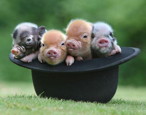 Happy Monday: Pigs in a Hat
